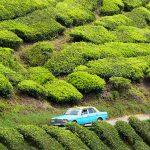 Cameron Highlands – xanh mướt và đỏ mọng