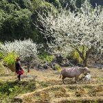 Cẩm nang và kinh nghiệm du lịch Hà Giang giữa mùa hoa