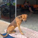 Chú chó nằm chờ người chủ quá cố ở bệnh viện suốt nhiều tháng