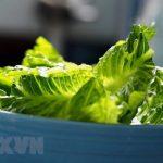Mỹ khuyến cáo người dân cẩn trọng với khuẩn E.coli trong rau diếp