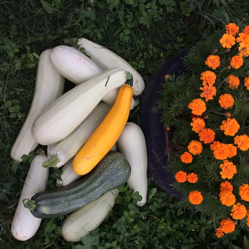 Bí thu hoạch trong vườn nhà.