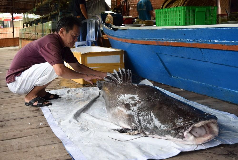 Cận cảnh con cá lăng hơn 100kg người dân bắt được trên sông Tiền