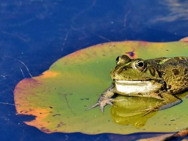 Phát hiện loài ếch đặc biệt phát ra âm thanh giống tiếng… dê