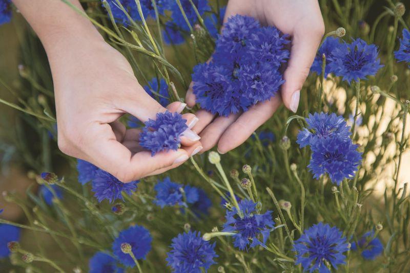 Recolte manuelle de bleuet