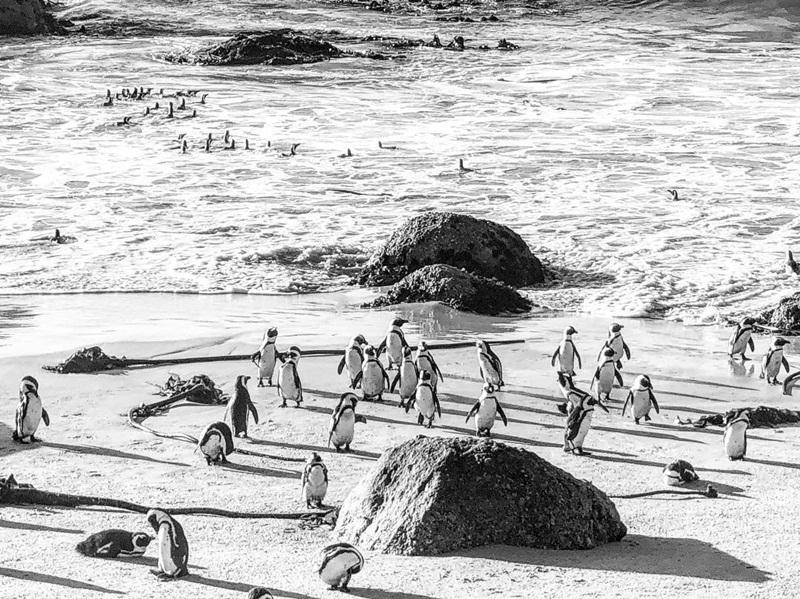 chim cánh cụt châu Phi (The African Penguin, có tên khoa học là Spheniscus demersus) đã được Sách Đỏ của Liên minh bảo tồn thiên nhiên quốc tế (IUCN) công bố ở mức 'nguy cấp' do 'dân số' của chúng ngày càng giảm dần trên khắp 'lục địa đen'.