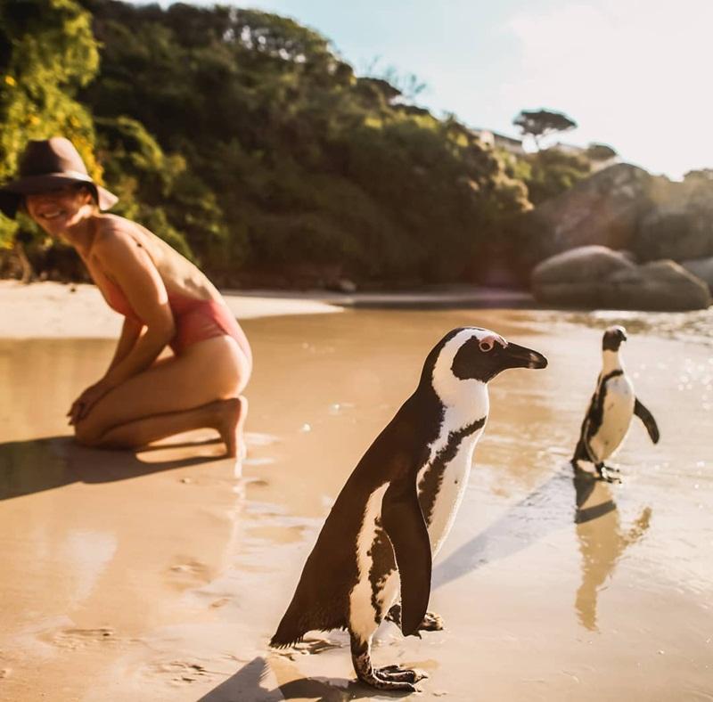 Chúng làm tổ trong các bờ cỏ, bãi cát, chúng bón cho nhau ăn, hay lạch bạch thi chạy trên bãi biển, rồi ưỡn ngực như nhạo báng du khách.
