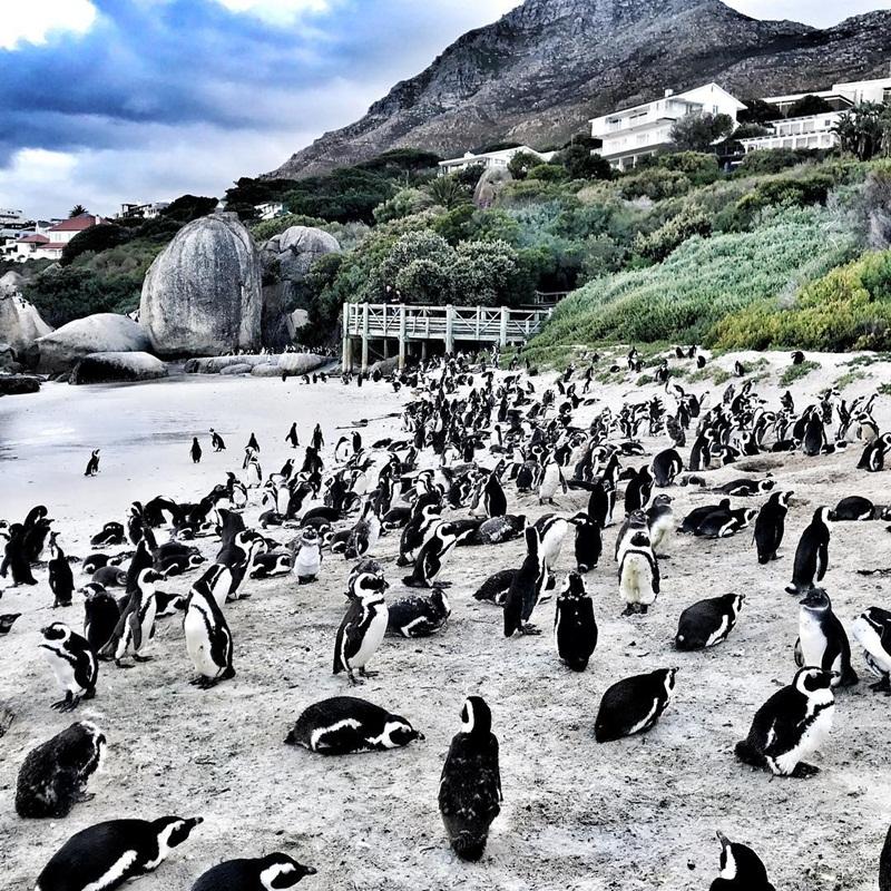 Từ một cặp đôi cánh cụt duy nhất được nuôi dưỡng vào năm 1982, tới nay bãi biển Boulders đã là nơi cư trú của hơn 3.000 cặp chim.