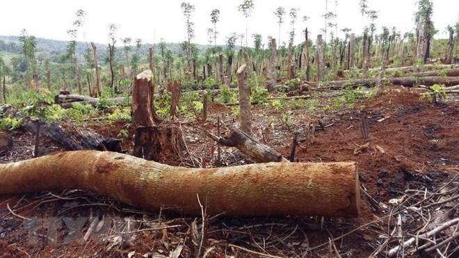 Truy nã hai nghi can chủ mưu vụ phá rừng lim cổ thụ ở Quảng Nam