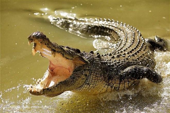 Thử nghiệm sụn cá sấu điều trị tổn thương khớp, viêm khớp