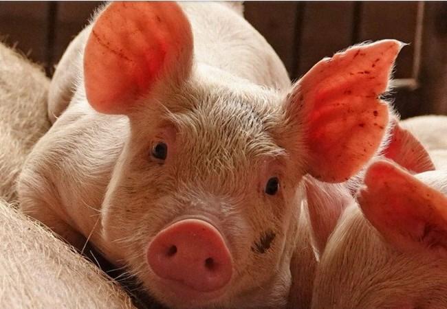 Bùng phát dịch tả lợn đầu tiên tại Nhật Bản trong 26 năm qua