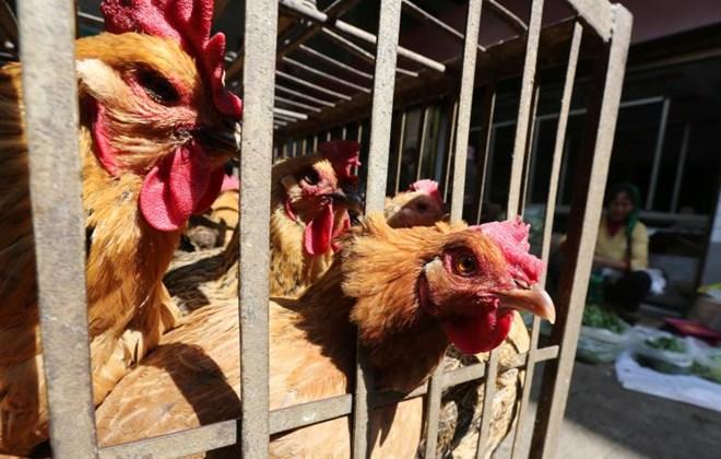 Hàn Quốc phát hiện virus cúm gia cầm H5(Al) từ chim hoang dã