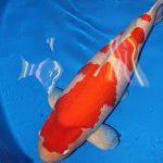 Cá chép Koi phá kỷ lục thế giới với trị giá gần 2 triệu USD