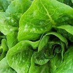 Mỹ: Rau diếp nhiễm khuẩn E.Coli được trồng ở California