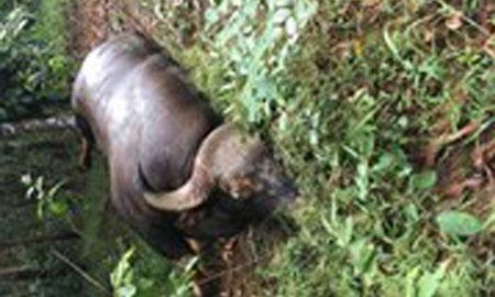 Bò tót hoang dã chết trong Khu Bảo tồn thiên nhiên văn hóa Đồng Nai