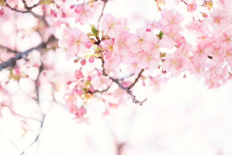 Thành phần chính của Viên uống Hebora là tinh chất từ hoa anh đào Yoshino.