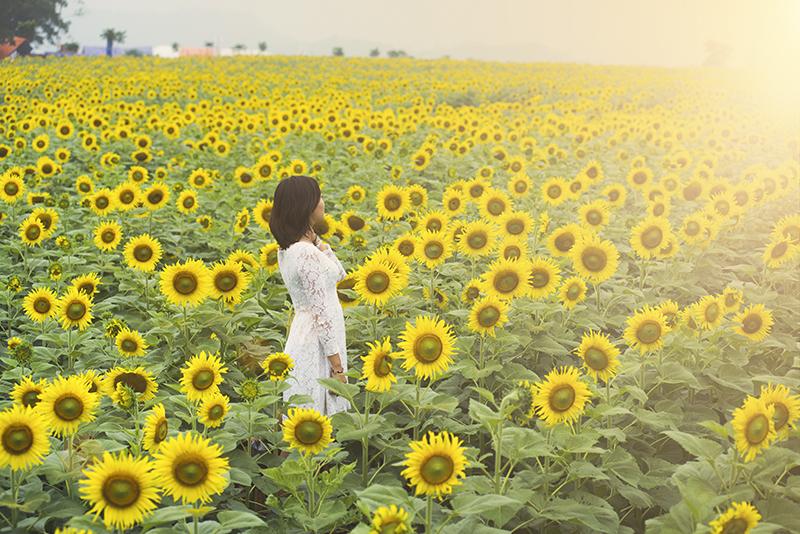 """Về xứ Nghệ thăm cánh đồng hoa hướng dương """"thẳng cánh cò bay"""""""