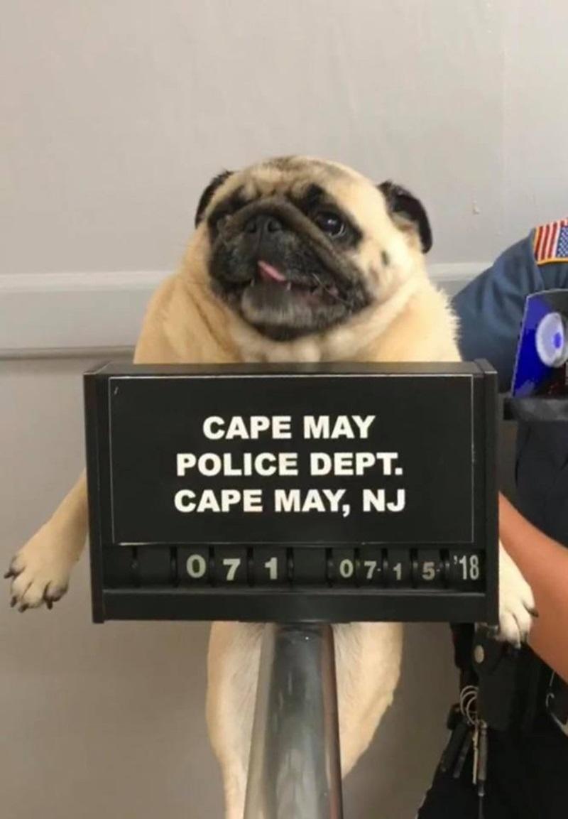 """Ngày 16/7/2018, facebook chính thức của sở cảnh sát thành phố Cape May, New Jersey (Mỹ) chia sẻ bài đăng về một """"tên tội phạm"""" 4 chân bị bắt vì tội dám lẻn trốn ra khỏi nhà. Ngay sau khi được chia sẻ, bài đăng ngay lập tức thu hút sự chú ý của cộng đồng mạng. Sau khi liên hệ được chủ sở hữu của Bean, cảnh sát đã cho chú """"tại ngoại""""."""