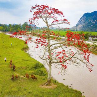 Hoa gạo tháng Ba thắp lửa rực rỡ cả mùa Xuân ẩm ướt