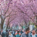 Về thành phố cổ nước Đức ngắm đại lộ rực hồng hoa anh đào