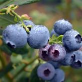 Trái việt quất giúp chống oxy hóa và kháng viêm hiệu quả
