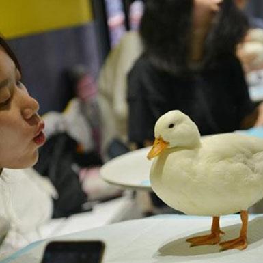 Du khách thích thú với quán càphê 'vịt cảnh' tại Trung Quốc