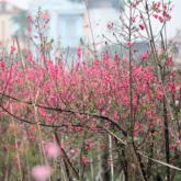 Hoa đào đồng loạt khoe sắc, nhà vườn tấp nập thu hoạch đón Tết