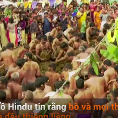 Người dân Ấn Độ lấy phân bò xoa lên người để chữa COVID-19